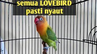 Download Suara burung Lovebird ini ampuh bikin labet apapun ikut bunyi,pancingan lovebird ngekek panjang