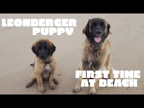 Leonberger puppy , first time at beach