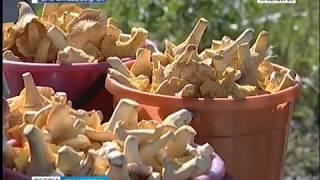 В окрестностях Красноярска почти нет грибов