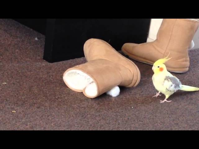 Cute cockatiel hiding in shoe