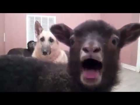 Screaming Goats vs. Fainting Goats