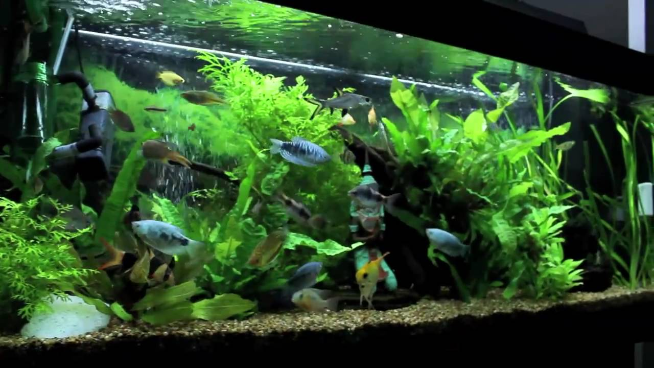 Juwel Rio 240 Aquarium Update November 8th 2010 Feeding Frenzy