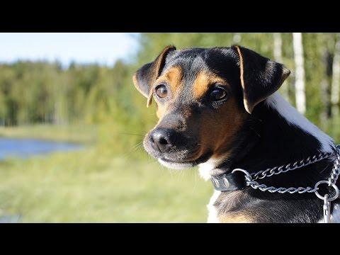 Brazilian Terrier (Terrier Brasileiro) / Dog Breed