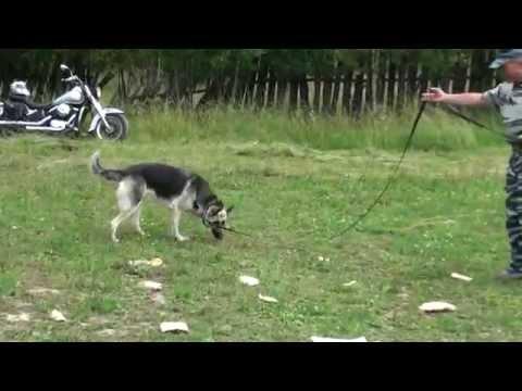 Отучение собаки от подбора еды и предметов с земли упражнение