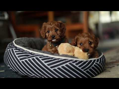 And then there were two - Our Toy Cavoodles | Raggy Dogs