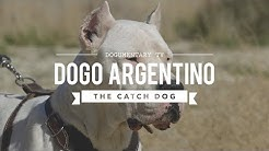HUNTING WITH DOGO ARGENTINO