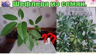 Шеффлера (Schefflera) : выращивание из семян в домашних условиях. Часть 3-я