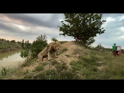 Лев Султан вышел к нам через камыши и ЗАБРАЛ СВОЮ ДОБЫЧУ !
