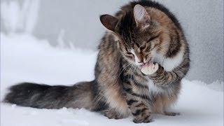 Кот лапой пьет молоко из кружки