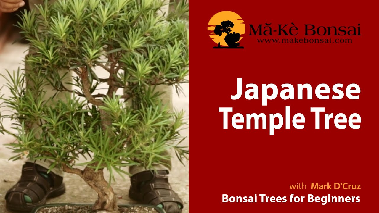 57 How To Care For Japanese Temple Podocarpus Macrophyllus Bonsai Trees For Beginners Youtube