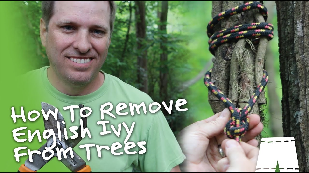 Remove English Ivy Vines From Trees Diy