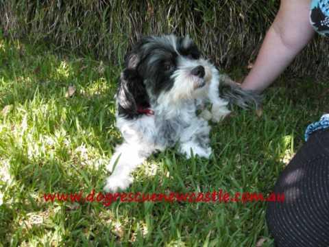 tyson shih tzu x maltese cross dog has been adopted   youtube