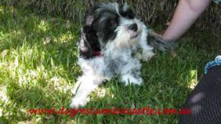 Tyson, Shih Tzu X Maltese Cross Dog-has Been Adopted