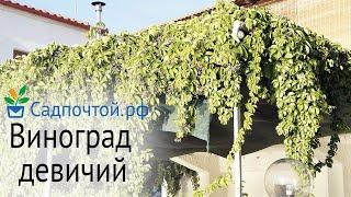Виноград девичий пятилисточковый, Parthenocissus quinquefolia