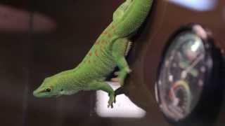 Все О Домашних Животных: Мадагаскарский Геккон