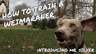 How to train a WEIMARANER  Introducing Mr. Silver