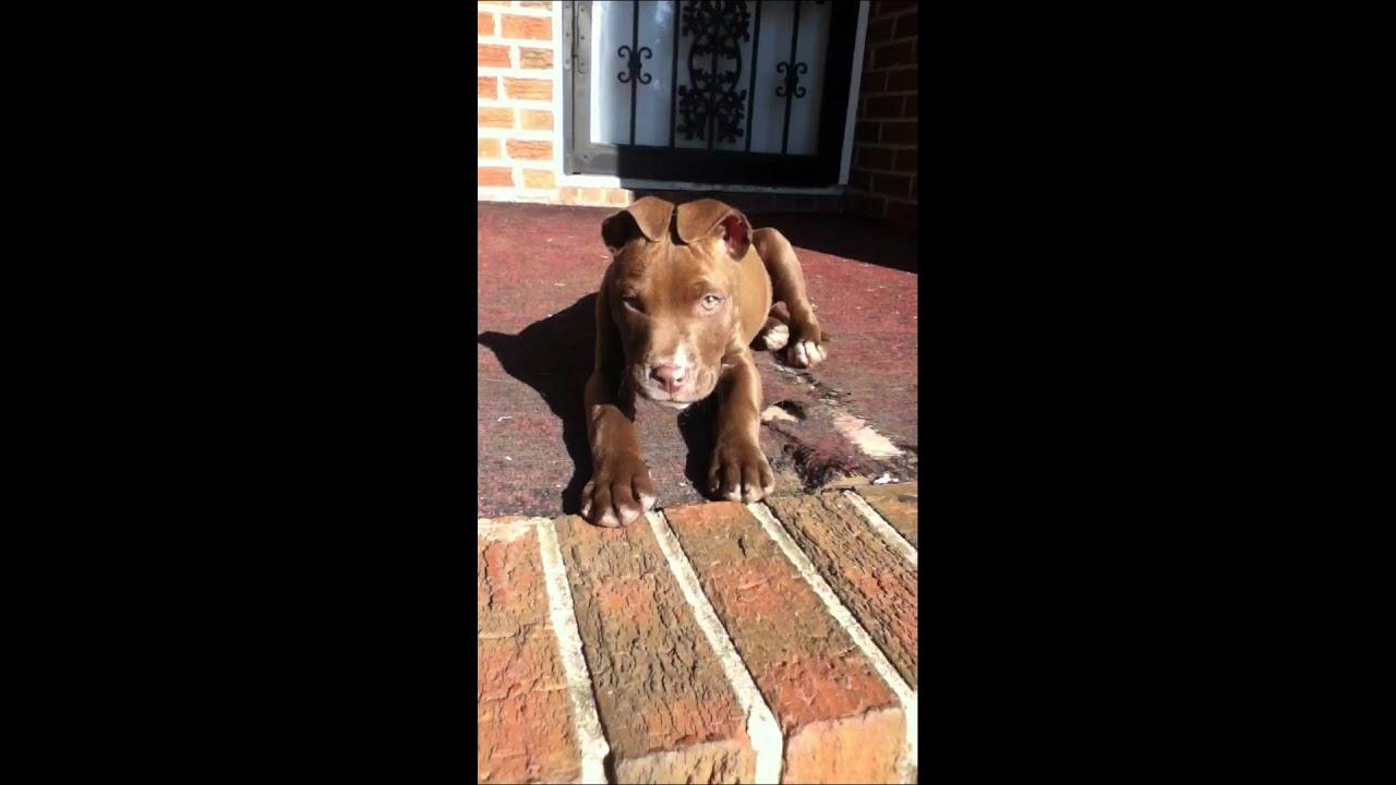 1d50d50a13eb Prettiest pitbull - YouTube