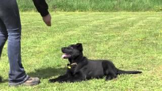 Kraftwerk K9 - German Shepherd Puppy Obedience & Agility Training