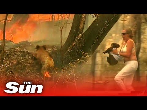 WATCH: Woman Rescues Badly Burned Koala From Australian Bushfire