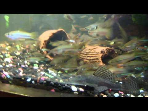 Feeding Bristlenose Catfish Pellets And Their Fry.