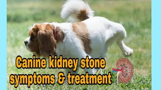 How know Canine Kidney stone symptoms & treatment in hindi#Doguniquecafe