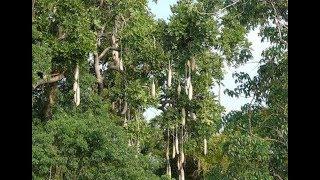 Miracle tree--African sausage tree   CCTV English