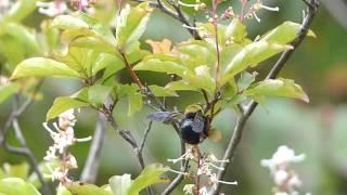 Carpenter Bee on Elliottia クマバチ♀がホツツジに訪花吸蜜