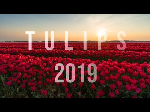 Tulip Timelapse Netherlands 2019 - 4K