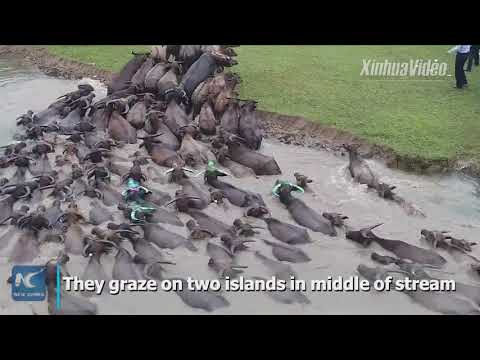 Spectacular! Hundreds of water buffalo swim across river in southwest China