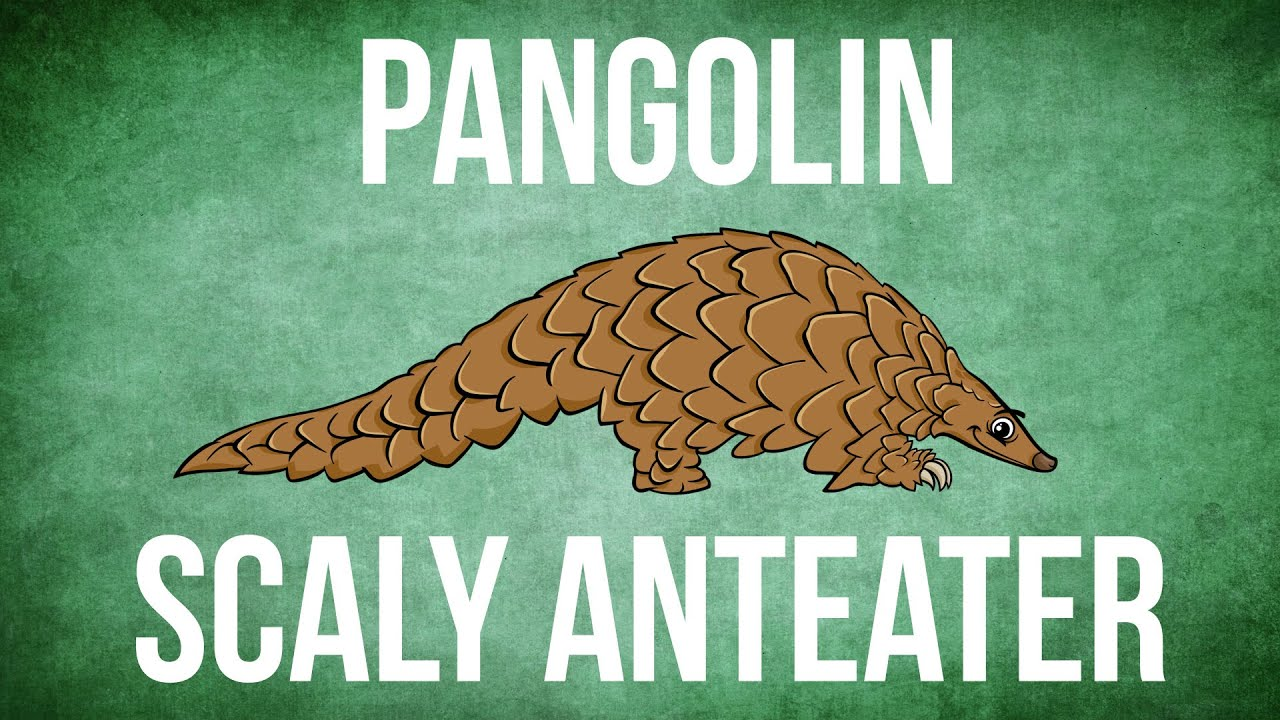 What is a Pangolin  YouTube