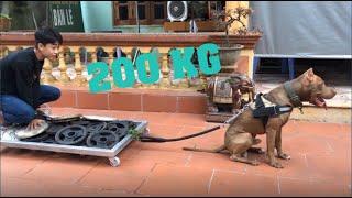 JOtv | thử thách chó pitḃull kéo 200kg