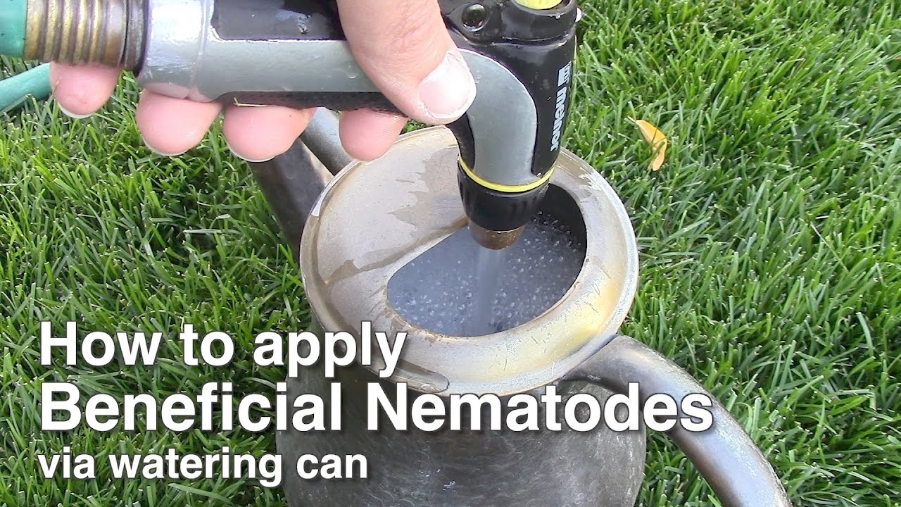 Natural organic pest control applying beneficial for Beneficial nematodes for termites