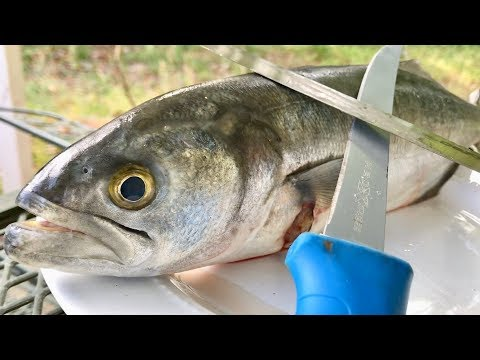 Catch And Cook Bluefish | Can You Eat It???