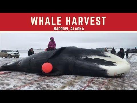 Harvesting a Whale -  Barrow, Alaska 2017 - Pauyuuraq Crew