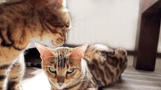 Mother cat still Takes care of Pregnant Daughter