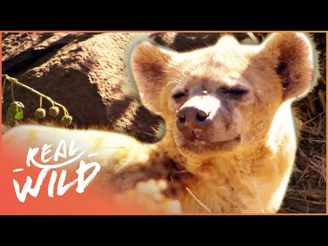 Extraordinary Habituated Hyenas You Can Walk Up To  Wild Things Shorts