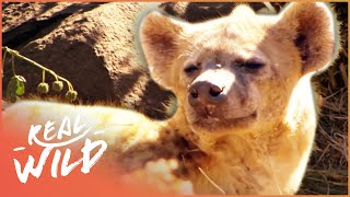 Extraordinary Habituated Hyenas You Can Actually Walk Up To | Real Wild  Shorts