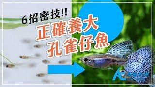 如何正確的養大孔雀仔魚?|養魚人森|AC草影水族|How to make guppy fry grow up healthy and correctly