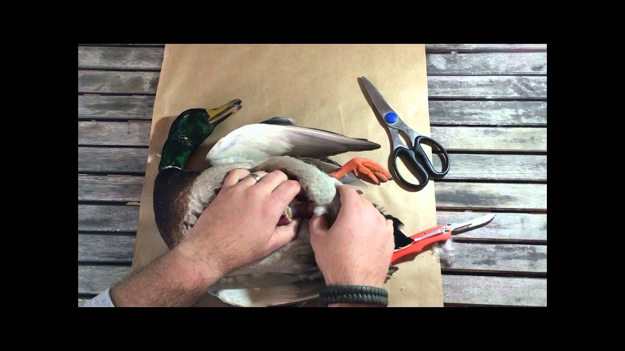 Diy skinning a duck for taxidermy and dinner youtube diy skinning a duck for taxidermy and dinner solutioingenieria Image collections