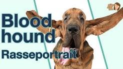 Bloodhound im Rasseportrait | Die seltene Jagd-Hunderasse aus Belgien