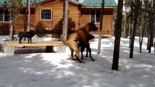 """This is a video of Tosa Inu (土佐犬) """"Musashi"""" and """"Sakura"""" playing..."""