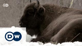 Romania: Bringing back the bison | Focus on Europe