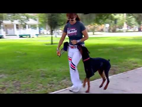 "Doberman ""Maverick"" Adding Nick To Dissuade Dog Aggression"
