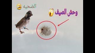طريقة أزالة حشرة ألقراد أو الكراد من أفراخ البلابل ☣