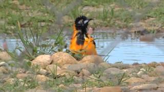 Aves de Venezuela – Aves de Barinas - Turpial - Icterus icterus