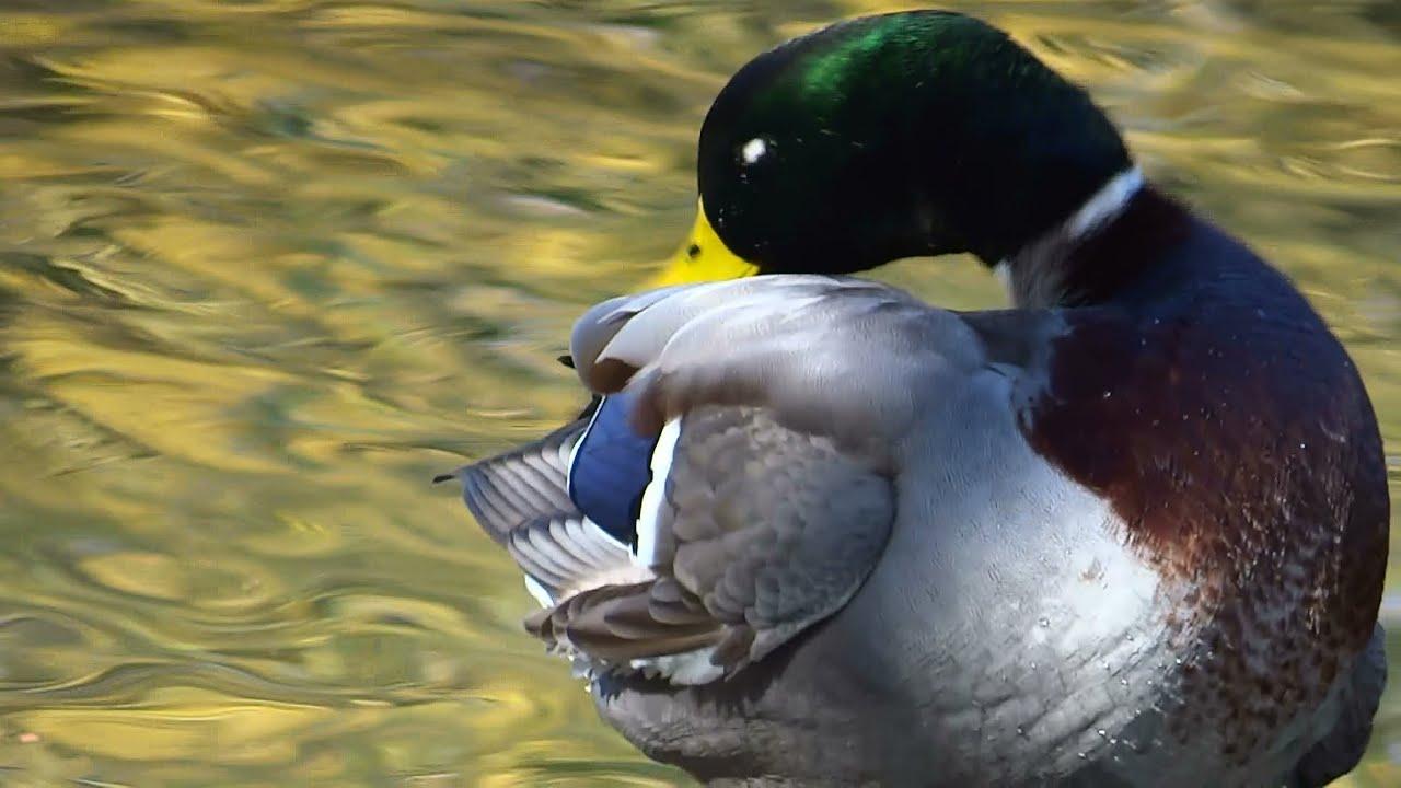 Mallard Ducks Preening - YouTube