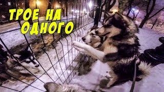 маламуты против маламута /  знакомство с щенок alaskan malamute