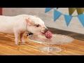 Mini Pigs Eat Tiny Cupcakes mp3