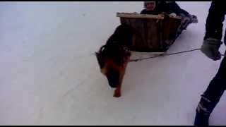 пацан запряг собаку в сани!!!