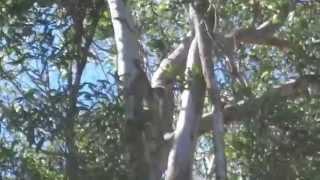 Koala from 8 Figure Adventurers